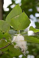 Balsam-Pappel, Balsampappel, Samen, Samenwolle, Populus balsamifera, Populus tacamahaca, balsam poplar, bam, bamtree, eastern balsam-poplar, hackmatack, tacamahac poplar, tacamahaca, seed, fruit, Le Peuplier baumier