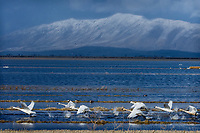 Tundra Swans (Cygnus columbianus) taking flight/lifting off lake, Lower Klamath NWR, Oregon/California.  Feb-March.
