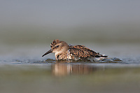 Least Sandpiper (Calidris minutilla) - Juvenile bathing, East Pond, Jamaica Bay Wildlife Refuge