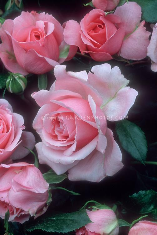 Rosa 'Comtesse de Segur' (aka DELtendre) pink roses hybrid tea rose from 1994 in flowers and buds