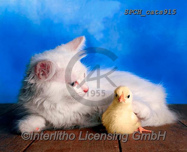 Xavier, ANIMALS, REALISTISCHE TIERE, ANIMALES REALISTICOS, cats, photos+++++,SPCHCATS915,#a#, EVERYDAY