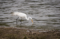 A Great egret, searching for food succeeds in catching a small fish along the shoreline of the Main Marsh at Coyote Hills Regional Park, Fremont, California.