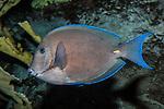 blue tang swimming left