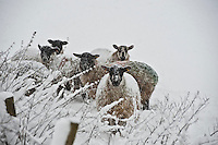 Mule ewes in snow, Whitewell,Lancashire.