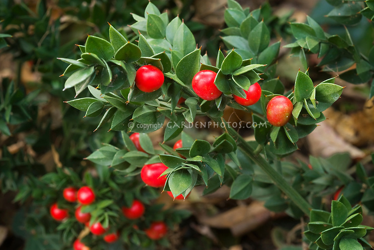 Ruscus aculeatus Elizabeth Lawrence butcher's broom in red berries in autumn