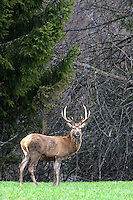 Red deer stag in the grass