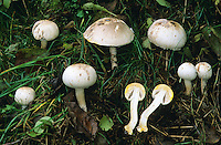 Karbol-Egerling, Karbolegerling, Giftchampignon, Giftegerling, Tinten-Egerling, Karbol-Champignon, Karbolchampignon, Agaricus xanthoderma, yellow-staining mushroom