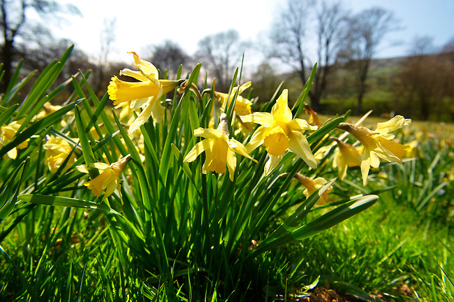 Narcissus pseudonarcissus (commonly known as wild daffodil or Lent lily) in the Nrth Yorks Moors National Park at Farndale
