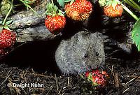 MU30-072z   Meadow Vole - eating strawberries - Microtus pennsylvanicus