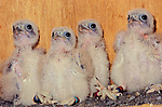 Mauritius Kestrel (Falco punctatus) chicks, two-week-old. Government Aviaries, Black River, Mauritius, Indian Ocean.