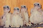 Mauritius Kestrel (Falco punctatus) chicks, two-week-old. Government Aviaries, Black River, Mauritius, Indian Ocean.
