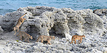 Female puma (Puma concolor) (southern subspecies Puma concolor puma) (in N. America, cougar or mountain lion) with near-adult cubs (12/13 months old). On the shoreline of Lago (Lake) Sarmiento dominated by thrombolites and stromatolites or stromatoliths. Private ranch land (Estancia Amarga) on the outskirts of Torres del Paine National Park, Patagonia, Chile.