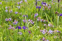 Field of wildflowers, wild iris and wild geranium blossoms, Katmai National Park, Alaska Peninsula, southwest Alaska.