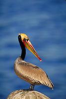Brown Pelican, endangered California race. La Jolla California, La Jolla Coves.
