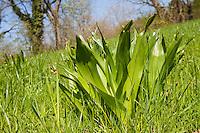 Herbst-Zeitlose, Herbstzeitlose, Blätter im Frühjahr, Colchicum autumnale, Colchicum autumnalis, Naked Ladies