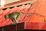 Long-tailed Macaque (Macaca fascicularis) male on roof, Tawau Hills Park, Sabah, Borneo, Malaysia