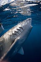 Galapagos shark, Carcharhinus galapagensis, hooked, Bonin Islands, Ogasawara, Tokyo, Japan, Pacific Ocean