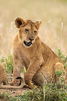 Lion cub, Panthera leo melanochaita, lifts its injured front left paw in Maasai Mara National Reserve, Kenya.