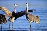 Sandhill Cranes wading in the water Platte River, Nebraska