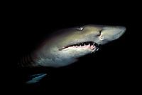sand tiger (grey nurse) shark, Carcharias taurus (formerly Odontaspis/ Eugomphodus) Australia