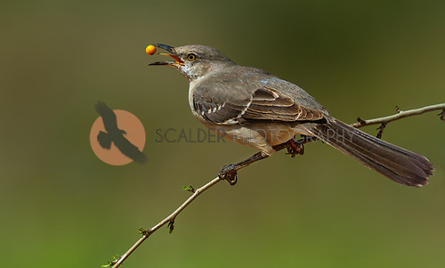Northern Mockingbird with yellow berry