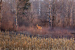White-tailed doe standing at the edge of a farmer's field in northern Wisconsin.