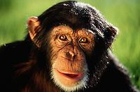 Portrait of a Common chimpanzee (Pan troglodytes verus).