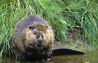 Europäischer Biber, Altwelt-Biber, Castor fiber, Eurasian beaver, European beaver