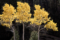 Fall colored aspen trees. Yellowstone National Park, WY