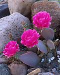 Death Valley National Park, CA:  Three blossoms of Beavertail Cactus (Opuntia basilaris)