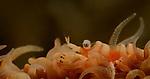 Anker's Whip Coral Shrimp, Pontonides ankeri, Anilao, Secret Bay