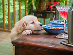 Labrador puppy at table trying to reach food.