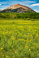 Golden pea and Sneezeweed in meadow, La Sal Mountains, Utah Manti-La Sal National Forest, La SaL Pass