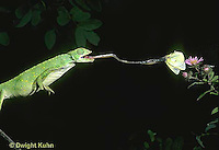 CH04-020z  African Chameleon - catching butterfly prey with long tongue - Chameleo senegalensis