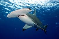 Great hammerhead shark Sphyrna mokarran, Bahamas., Caribbean Sea, Atlantic Ocean