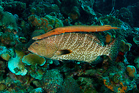 Tiger grouper, Mycteroperca tigris, with trumpetfish, Aulostomus maculatus, shadowing