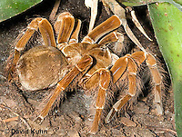 0105-0904  Goliath Bird Eating Tarantula (Birdeater), Theraphosa blondi  © David Kuhn/Dwight Kuhn Photography
