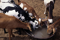 Akadaney, Niger. Fulani Goats in the Sahel Drinking at Water Carried from Well.