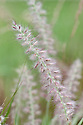 """Pennisetum orientale, early July. Commonly known as Oriental fountain grass. """"For this grass I welcome a warm, dry summer when dense hummocks of fine, narrow leaves become crowned with flower heads. They dangle, fat and hairy, like soft grey-mauve caterpillars suspended from thin, wiry stems."""" [Beth Chatto]"""