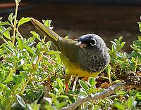 Adult male MacGillivray's warbler
