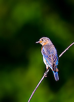 Eastern Bluebird perched on branch in evening sun