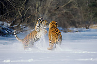 Siberian Tigers (Panthera tigris altaica) play fighting--mating behavior.