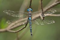 339220002 a wild male arroyo darner rhionaeschna dugesi perches on a small tree branch near a creek in scotia canyon cochise county arizona united states
