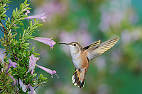 Rufous Hummingbird (Selasphorus rufus), female in flight feeding on Mexican Oregano (Poliomintha maderensis), Gila National Forest, New Mexico, USA