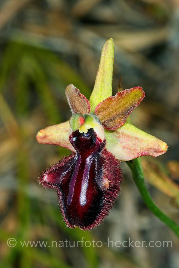 Busen-Ragwurz, Busenragwurz, Ophrys mammosa, bosom orchid, Mammose Ophrys, Ragwurzen, Kerfstendel, Mimikry, Lockmimikry