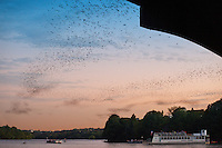 Watching bat flights offers the best view from a cruise boat on Town Lake, Austin. Although the Congress Avenue bats are in residence as early as March, the best bat views are in August when the young pups join their mothers in the nightly flights. It can take as long as 45 minutes for all the bats to exit the bridge. There are plenty of locations along Lady Bird Lake in the vicinity of Congress Avenue where you can watch the bats. Flights normally occur around 8 to 8:30 pm but could be earlier or later. Best bet, call the Bat Hotline at 416-5700 ext. 3636 for times.