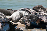 Gray Seals hauled out on the Chatham Bars, Cape Cod.  Close-up of large bull face view.