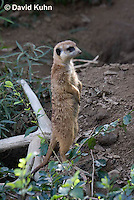 0329-1017  Meerkat on Lookout, Suricata suricatta  © David Kuhn/Dwight Kuhn Photography.