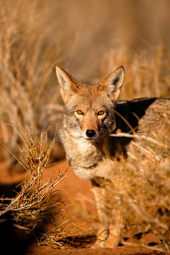 Coyote in the Mojave Desert, California.
