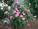 General Allard Rose bush, Rosa hybrid
